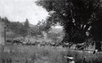 Mules pulling log wagons